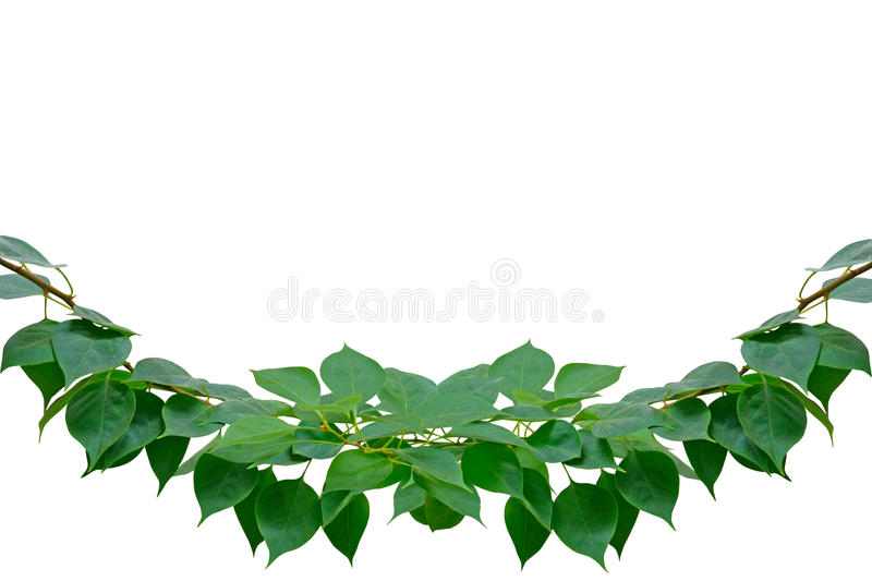 Download Green Leaves Isolated On The White With Work Path Stock Photo - Image of design, leaf: 26628070