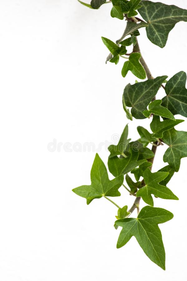 Green leaves ivy climbing vine plant, hanging branch of potted ivy indoor houseplant isolated on white background natural royalty free stock image