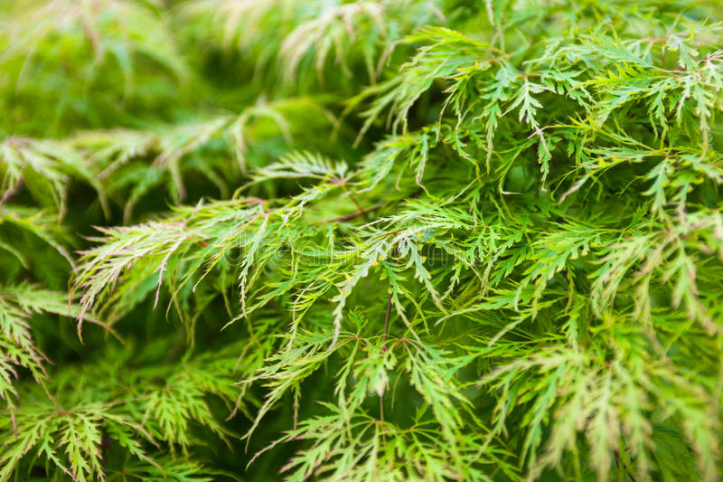 Green leaves of the Japanese maple (Acer palmatum).  royalty free stock photo