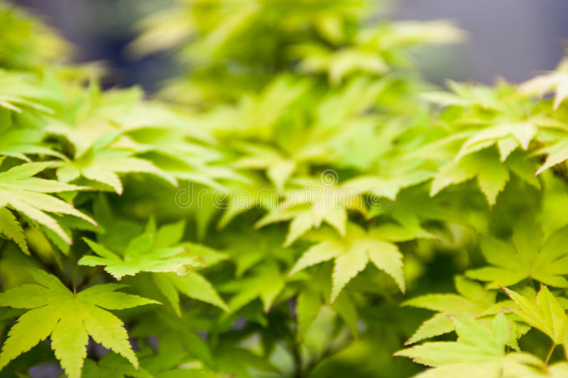 Green leaves of the Japanese maple Acer palmatum.  stock photography