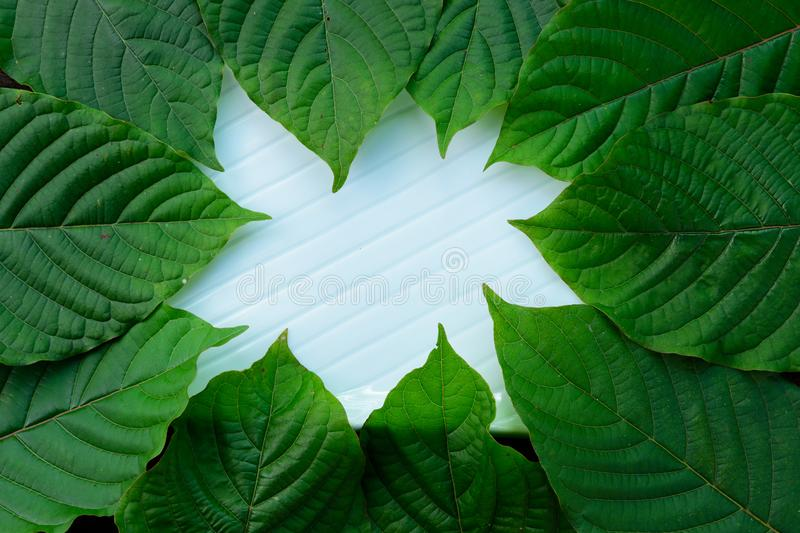 Green leaves of Kratom Mitragyna speciosa Mitragynine in frame pattern on white ceramic plate. Texture background royalty free stock photo