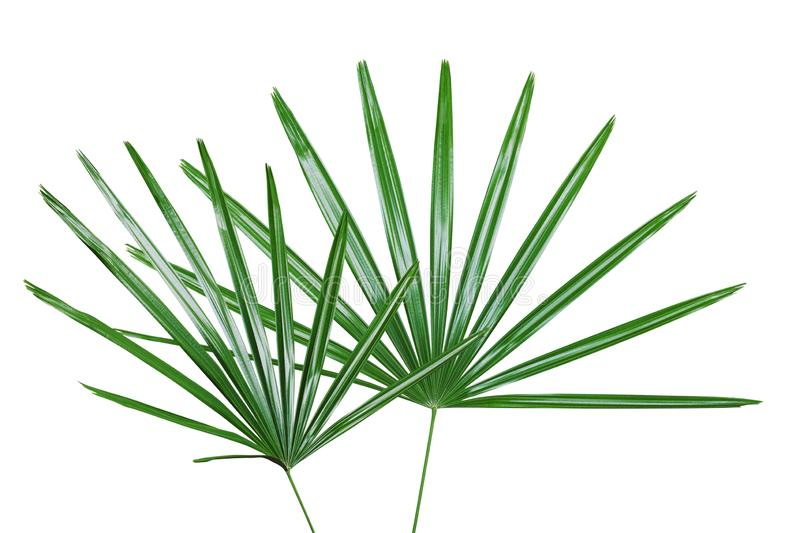Green Leaves of Lady Palm Plant Isolated on White Backgroud with Clipping Path royalty free stock image