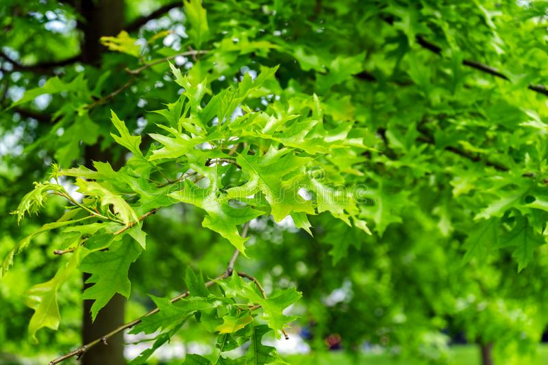 Green leaves of landscaping tree, Quercus palustris, the pin or swamp Spanish oak in park.  royalty free stock photo