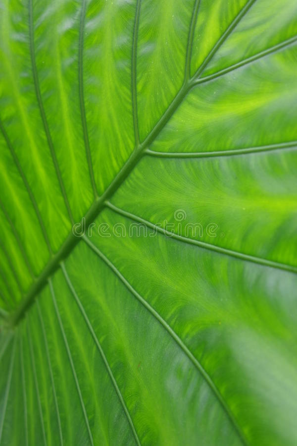 The green leaves royalty free stock image
