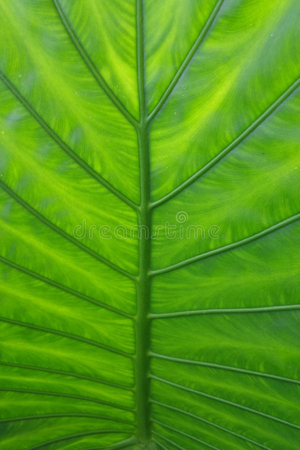 The green leaves royalty free stock photography