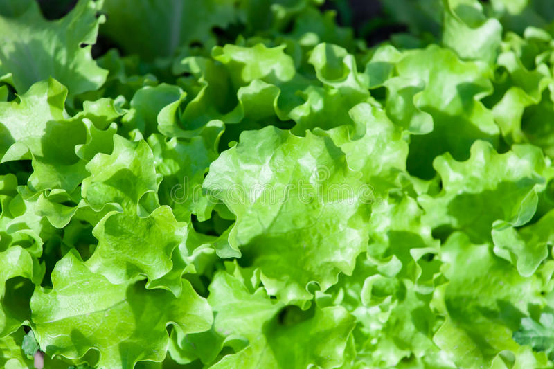 Download Green Leaves Lettuce Under The Sun Stock Image - Image of agrarian, diet: 30254849