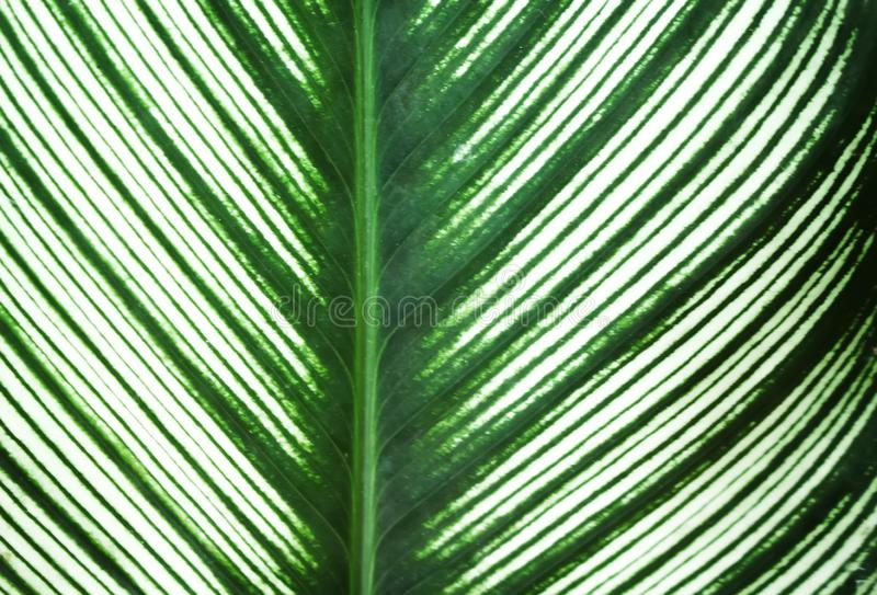 Green leaves line nature patterns and white edges alternating texture for background , reflection from the sun royalty free stock image
