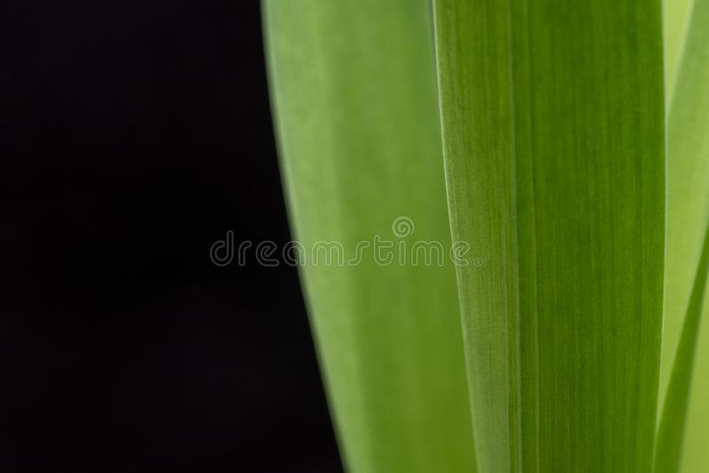 Green Leaves Macro Photography. Green Leaves on The Black Background stock image