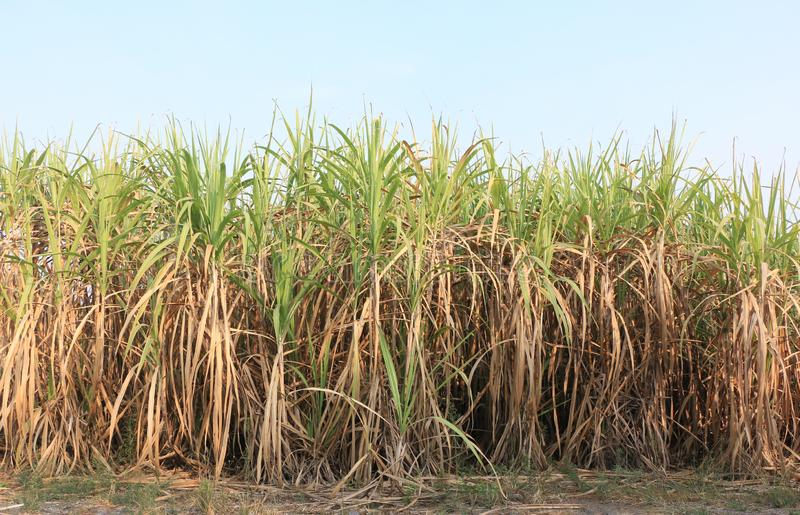 Green leaves of many sugarcane plants is common in Thai countryside stock images