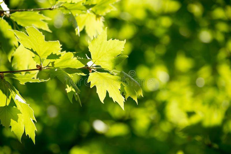 Green leaves on maple tree royalty free stock photos