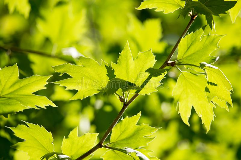 Green leaves on maple tree stock images