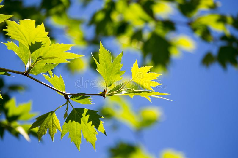 Green leaves on maple tree royalty free stock photography