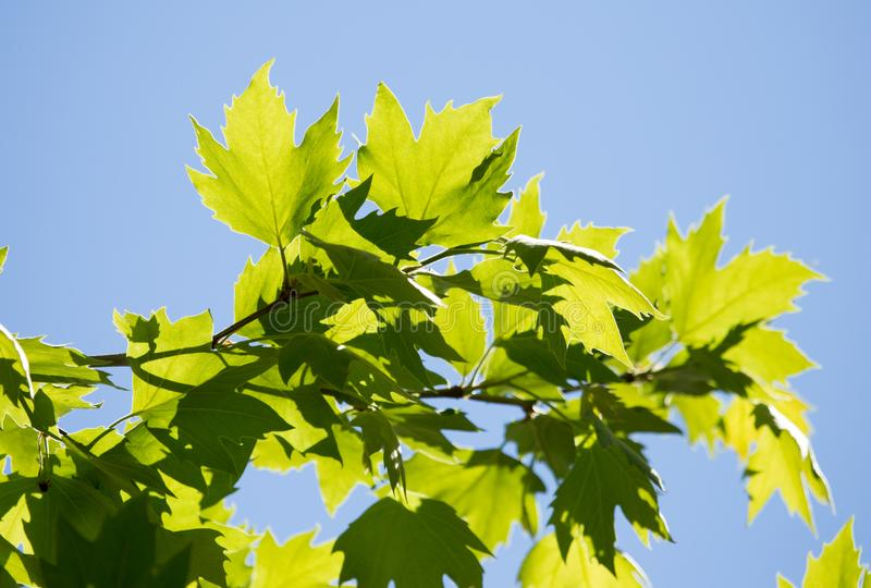 Green leaves on maple tree stock photography