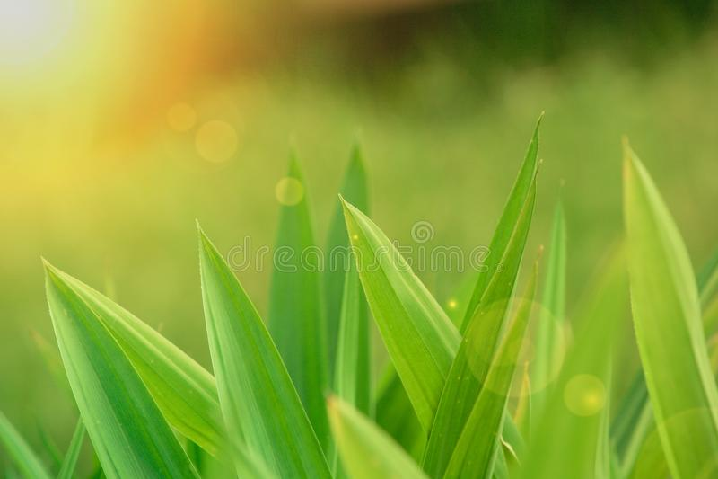 Green leaves in the meadow with sunlight radiate from top left corner in the background. Soft focus stock images