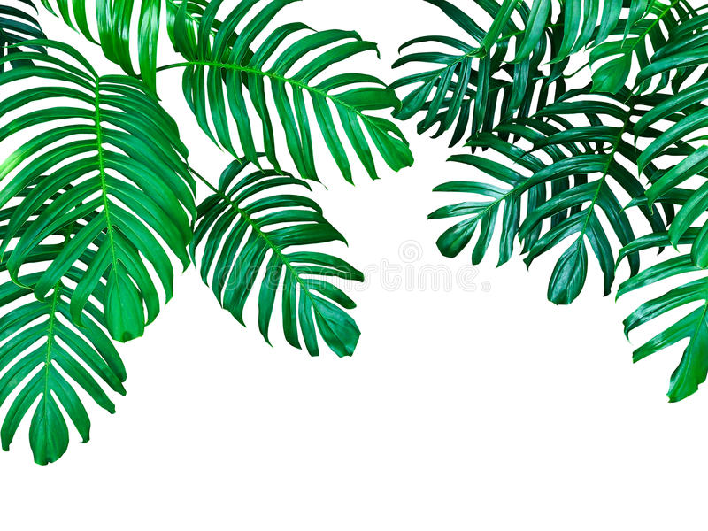 Green leaves of Monstera philodendron the tropical forest plant, evergreen vine isolated on white background, clipping path stock images