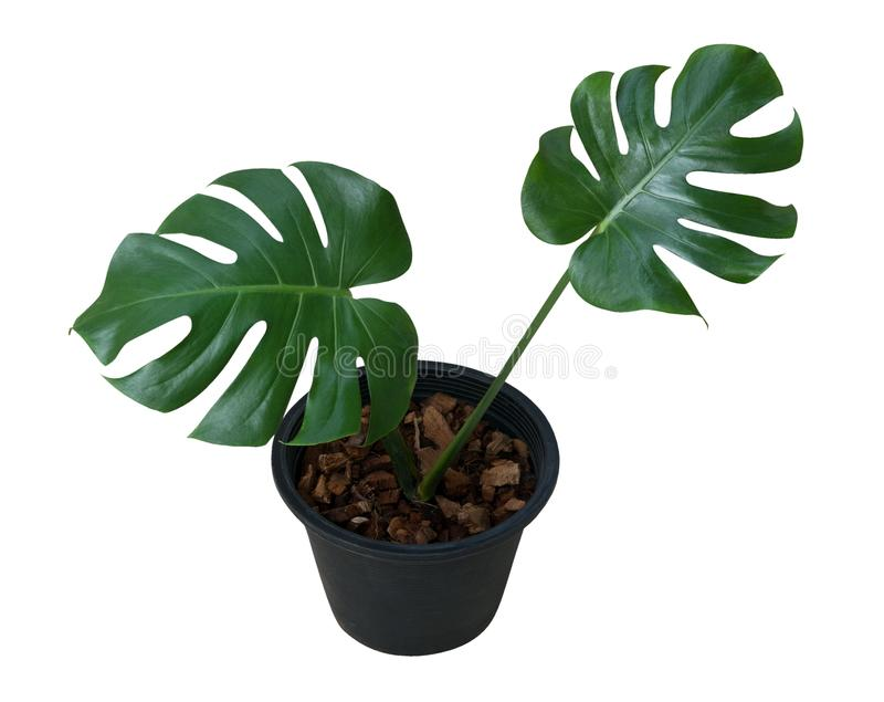 Green leaves Monstera plant growing in black plastic pot isolated on whi. Green leaves Monstera plant in black plastic pot isolated on white background, clipping royalty free stock photo