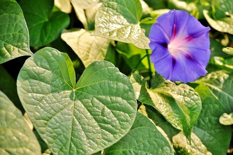 Green leaves and morning glory, ipomea purpurea open flower. Macro shot of ipomea purpurea green leaves and blue flower stock image