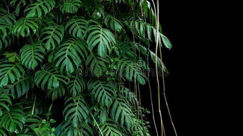 Green leaves of native Monstera Epipremnum pinnatum liana plan royalty free stock photo