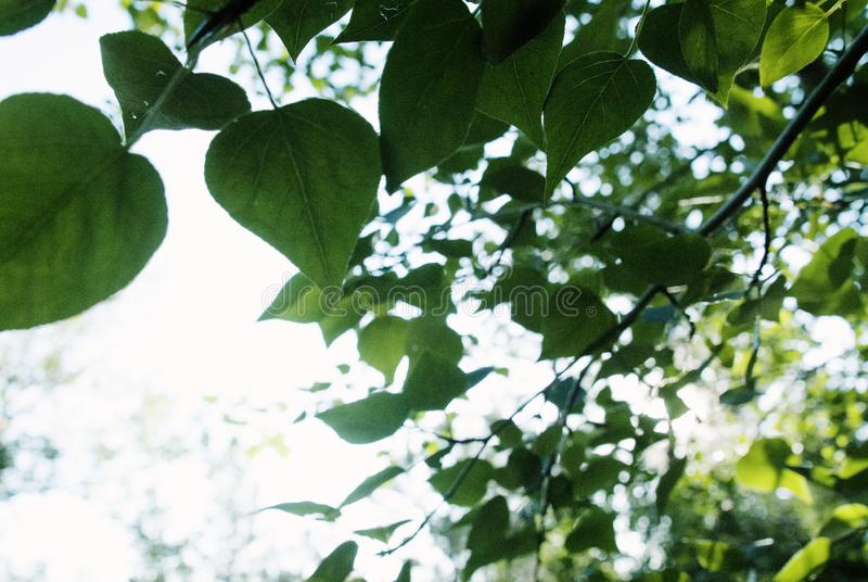Green Leaves NATURE Art Photo stock photography