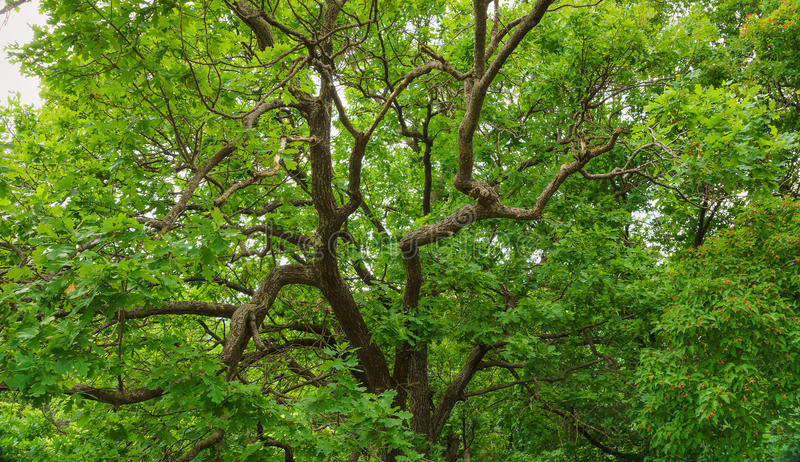 Green leaves of oak tree royalty free stock photos