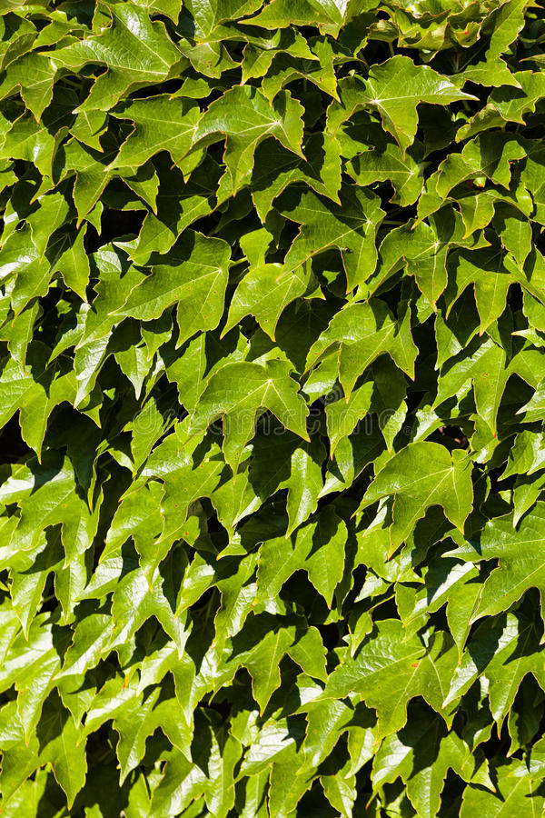 Green leaves. On a old stone wall stock image