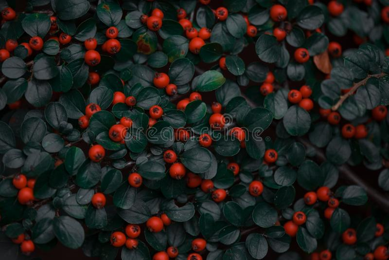 Berries and leaves in autumn on the wall stock images