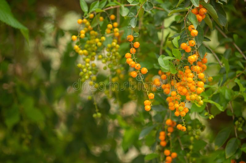 Green leaves with orange fruit, Hasanur, Tamil Nadu, India. Green leaves with orange fruit in Hasanur which is a town in Talamalai Reserve Forest in Tamil Nadu stock image