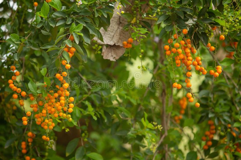 Green leaves with orange fruit, Hasanur, Tamil Nadu, India. Green leaves with orange fruit in Hasanur which is a town in Talamalai Reserve Forest in Tamil Nadu stock images