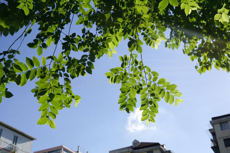 Green leaves over blue skies and white clouds. With building tops royalty free stock images