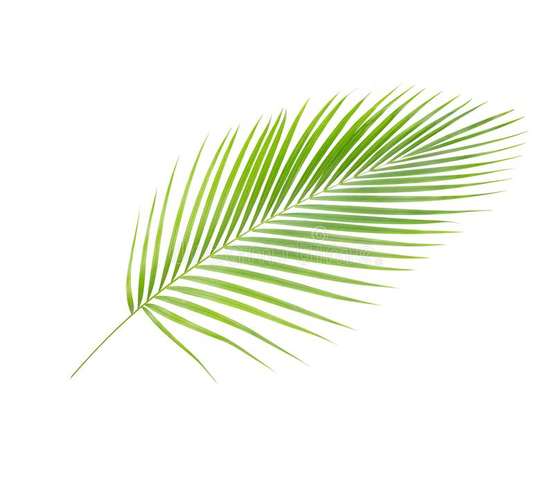 Green leaves of palm tree. Coconut leaves or Coconut fronds, Green plam leaves, Tropical foliage isolated on white background with clipping path.Green leaves of stock illustration