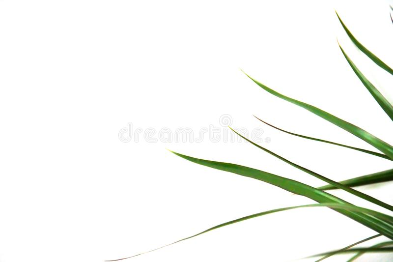 Green leaves of palm tree on white background stock illustration