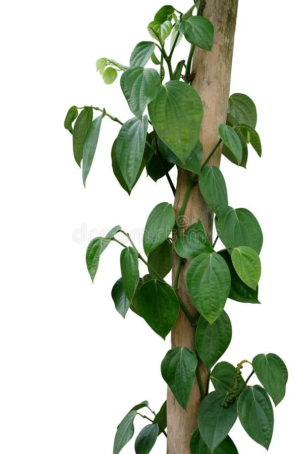 Green leaves pepper vine plant with green peppercorns climbing and twist around wooden pole or dried tree trunk isolated on white. Background, clipping path royalty free stock photo