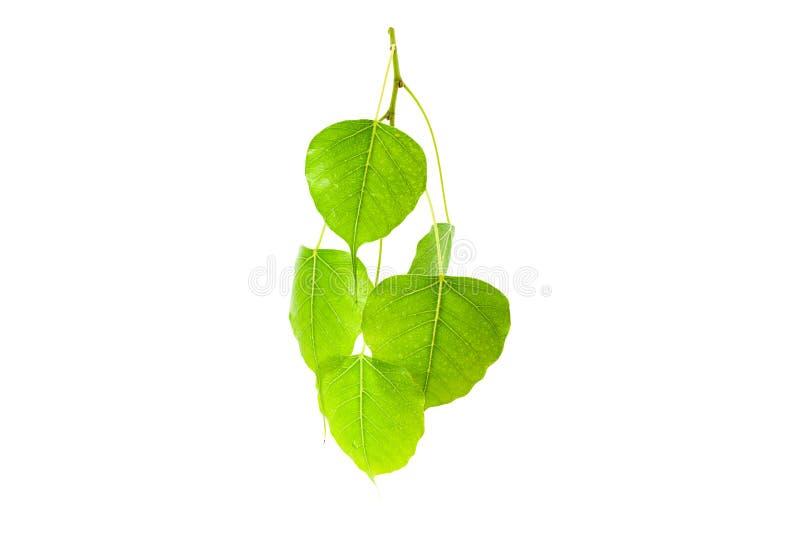 Green leaves(Pho leaf, bo leaf,bothi leaf)isolated on white back. Ground stock image