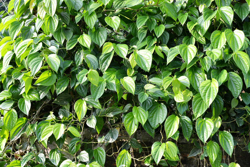 Green leaves of piper betle. Or betel is herb plant as background stock image