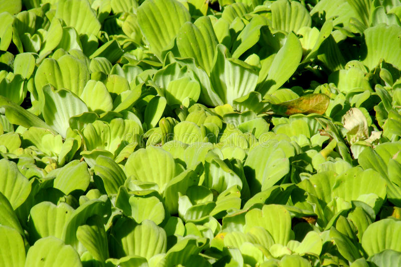 Green leaves plant growing in a lake stock image