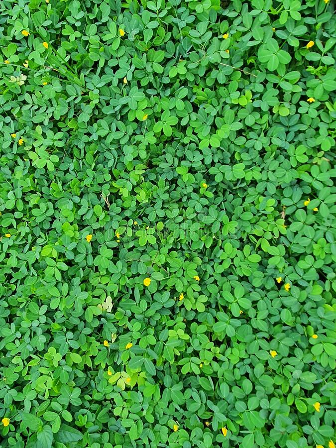 Green leaves plant and small yellow flowers stock photo