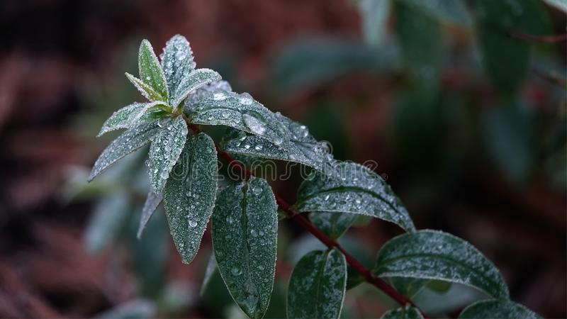 Leaves in winter. royalty free stock photos