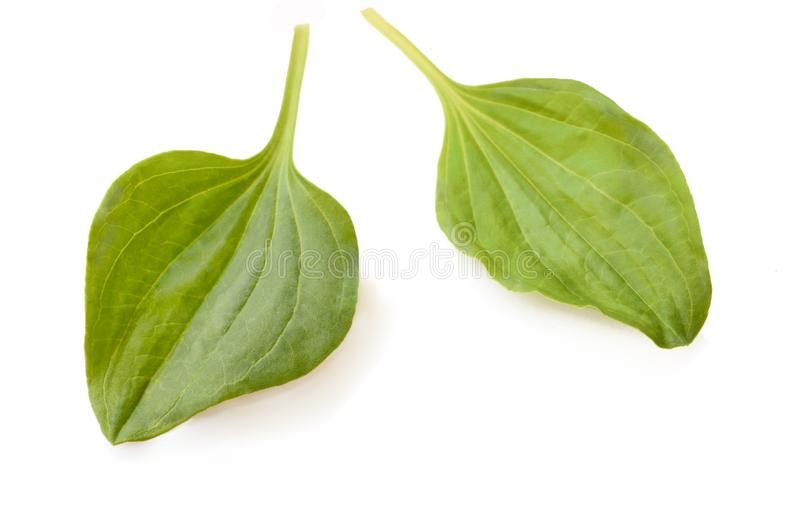 Green leaves of Plantago major Broad-leaf Plantain, white Mans Foot, or Greater Plantain. Isolated on a White Background. The Green leaves of Plantago major royalty free stock images