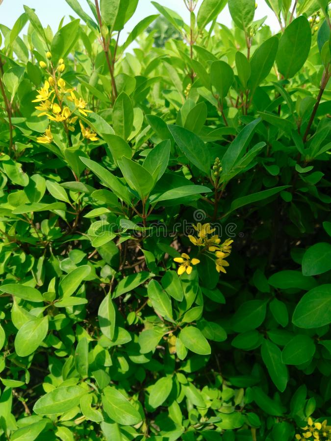Green leaves plants bush and yellow flowers stock images