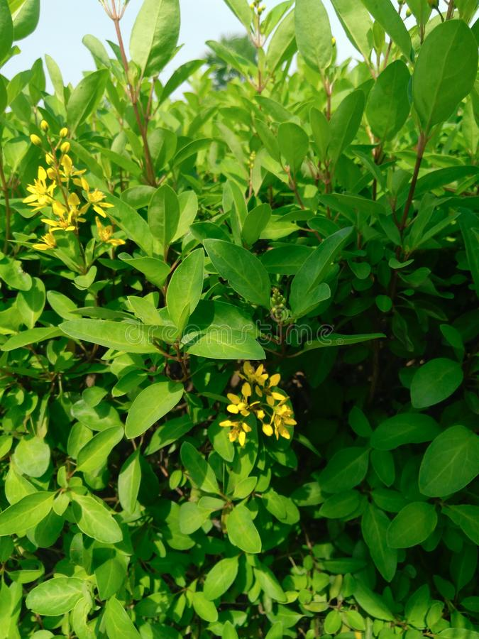 Green leaves plants bush and yellow flowers royalty free stock photography