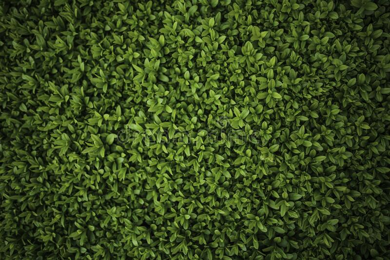 Green leaves - Privet / Ligustrum royalty free stock photography