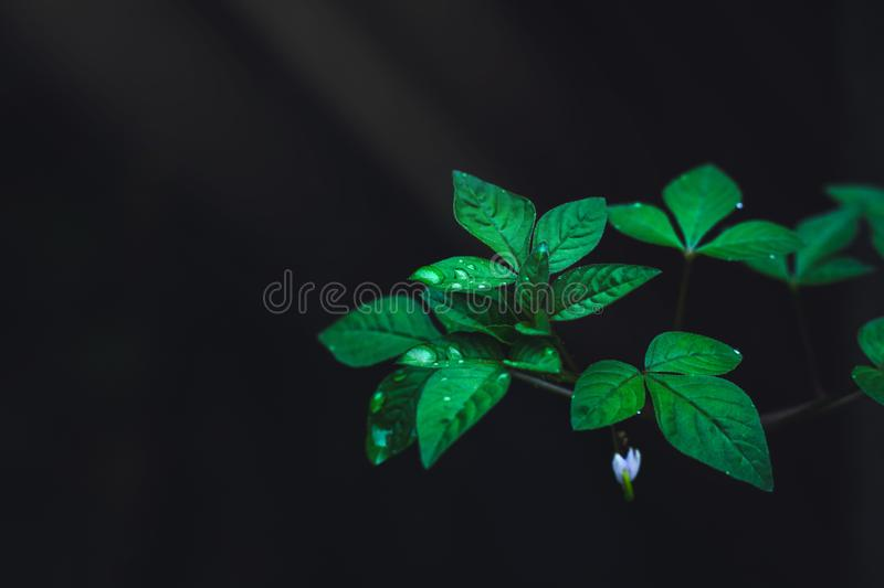 Green leaves with rain drops growing in the wild forest on dark background. Light shines on leaf in the rainforest. royalty free stock photo