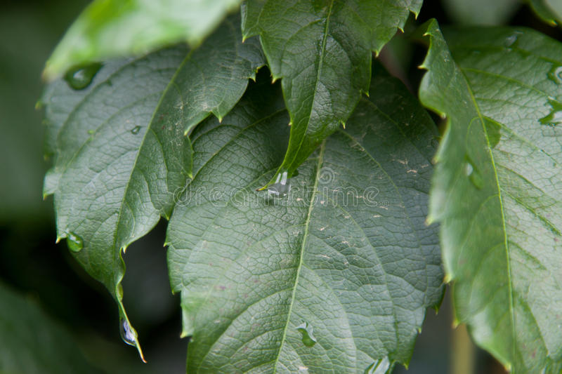 Green leaves after the rain. royalty free stock images