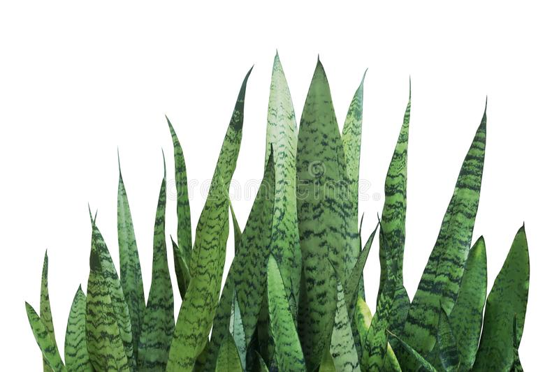 Green Leaves of Sansevieria trifasciata, Snake Plant Isolated on White Background with Clipping Path royalty free stock photos
