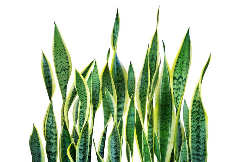 Green Leaves of Sansevieria trifasciata, Snake Plant Isolated on White Background stock photo
