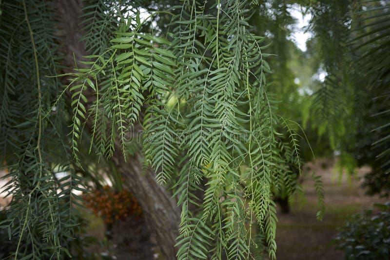 Schinus molle foliage stock photo
