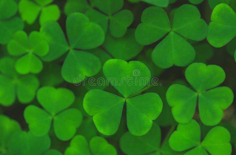 Green leaves of shamrock background stock image
