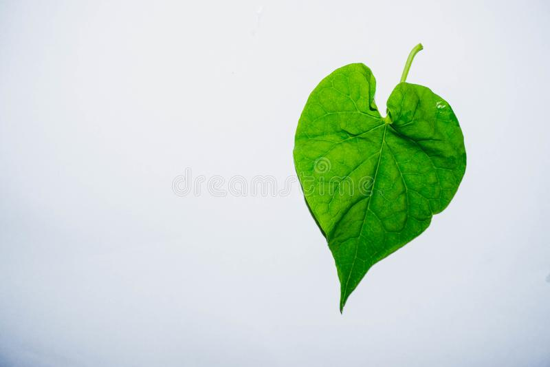 Leaves shaped like a heart nature. Green leaves shaped like hearts Place on a clean white background royalty free stock images