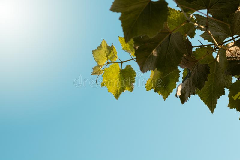 Clear blue sky with green grape leaves. Green leaves on the sky. Fall, spring grape leaves stock images