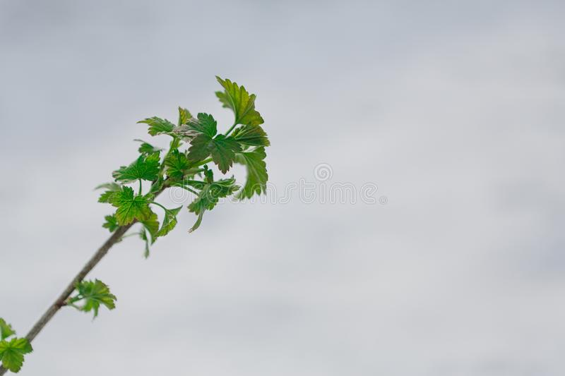 Green leaves in the spring, the snow melts. First green leaves burst. Young currant branch against white melting snow background. Nature awakening and spring royalty free stock photo